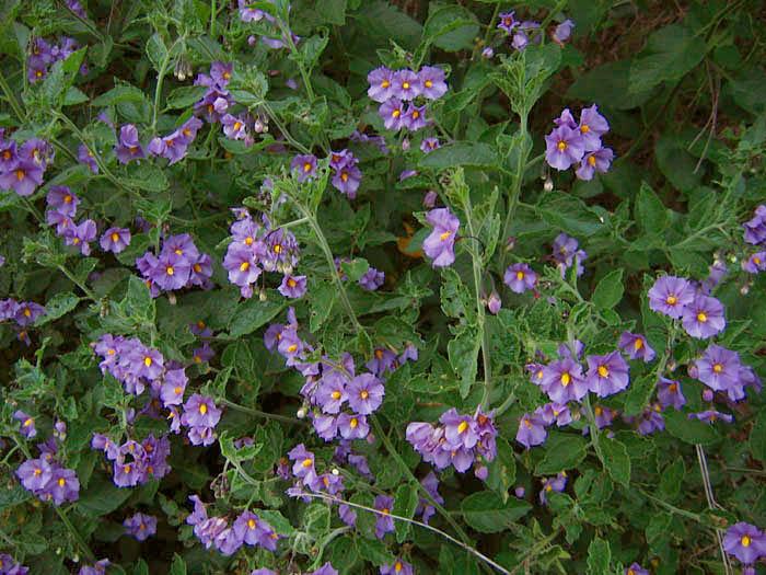 SEINet - Arizona Chapter - Solanum xanti