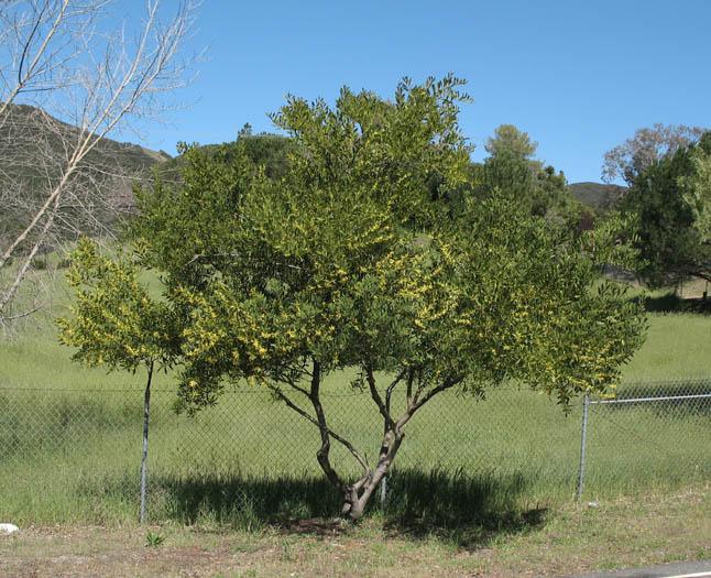 Wildflowers Nps Samo Nra Acacia Longifolia Detail Page