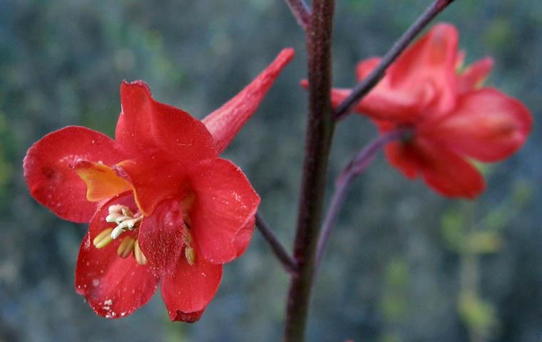 Delphinium cardinale (Scarlet Larkspur)