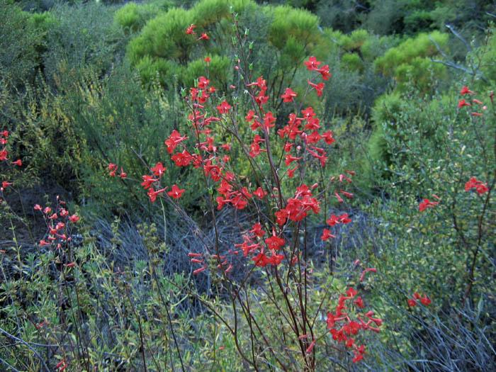 Pacific Bulb Society | Delphinium Species One